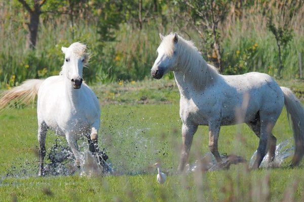 Les chevaux de Camargue en Picardie
